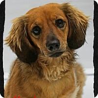 Adopt A Pet :: Hershey - Old Saybrook, CT