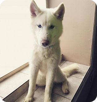 Siberian Husky Dog for adoption in Matawan, New Jersey - Koda