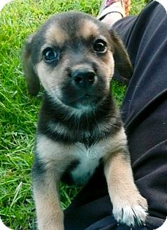 Beagle Mix Puppy for adoption in East Windsor, Connecticut - Cookydoo