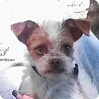 Affenpinscher/Terrier (Unknown Type, Medium) Mix Dog for adoption in Pittsburg, California - Bamboo