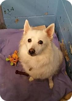 American Eskimo Dog Mix Dog for adoption in Lowell, Massachusetts - Tiny