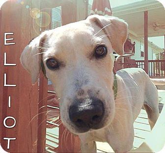 Labrador Retriever Mix Dog for adoption in Columbia, Tennessee - Elliot aka 'El'