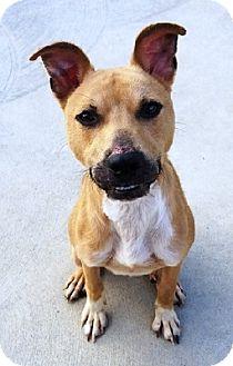 Boxer/Whippet Mix Dog for adoption in Aurora, Illinois - Finn