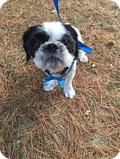 Shih Tzu Mix Dog for adoption in Bridgewater, New Jersey - OLLIE