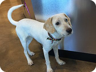 Labrador Retriever/Australian Shepherd Mix Puppy for adoption in San Francisco, California - Layla