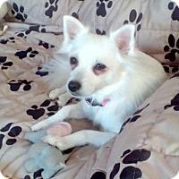 American Eskimo Dog Mix Dog for adoption in Tampa, Florida - SNOW (LM)