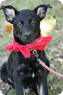 Shepherd (Unknown Type)/Labrador Retriever Mix Puppy for adoption in Haggerstown, Maryland - Marty