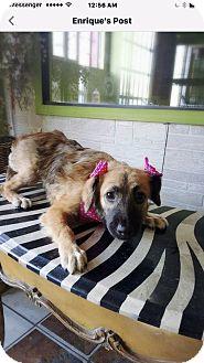 Retriever (Unknown Type)/Border Collie Mix Puppy for adoption in Eastsound, Washington - ALEXA