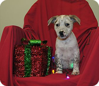 Australian Cattle Dog/Blue Heeler Mix Puppy for adoption in Brattleboro, Vermont - Boomer ~ ADOPTED!