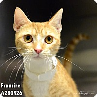 Domestic Mediumhair Cat for adoption in Conroe, Texas - FRANCINE