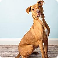Adopt A Pet :: Beauty - Hendersonville, NC