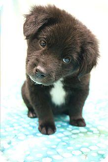 Labrador Retriever/Border Collie Mix Puppy for adoption in Hagerstown, Maryland - Mattie
