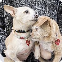 Adopt A Pet :: Darla *bonded with Eugenia - Los Angeles, CA