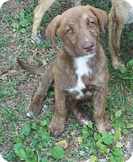 Labrador Retriever/Australian Shepherd Mix Puppy for adoption in Adamsville, Tennessee - Victor