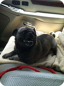 Pug Dog for adoption in Anaheim, California - Sugar