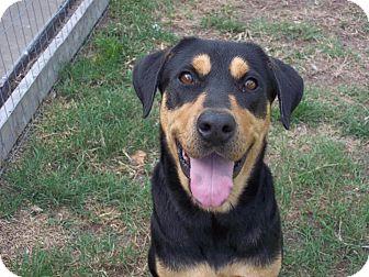 Labrador Retriever Mix Dog for adoption in Tampa, Florida - Alaska