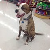Adopt A Pet :: Chance - Justin, TX