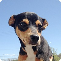 Adopt A Pet :: Rat Terrier/Min Pin - Pompton lakes, NJ