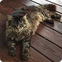 Adopt A Pet :: Mimi - Merrifield, VA
