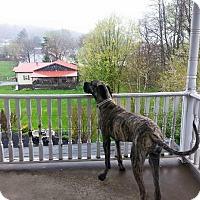 Adopt A Pet :: Koda - Baden, PA