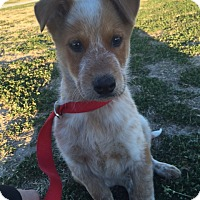 Adopt A Pet :: Gus - Fair Oaks Ranch, TX