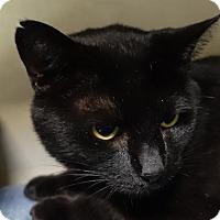 Adopt A Pet :: Shadow - Redwood City, CA