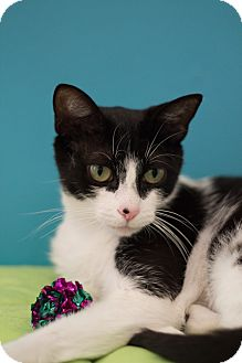 Domestic Shorthair Cat for adoption in Los Angeles, California - Marge