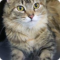 Adopt A Pet :: Starz - St Louis, MO
