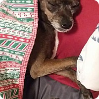 Chihuahua Dog for adoption in Ardmore, Oklahoma - Lucy