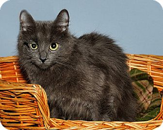 Russian Blue Cat for adoption in Gatineau, Quebec - Soleil