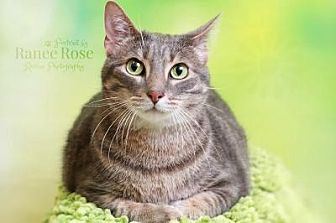 Domestic Shorthair Cat for adoption in Sterling Heights, Michigan - Jackson