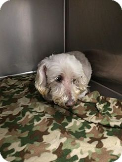 Poodle (Miniature) Mix Dog for adoption in Summerville, South Carolina - Rosie