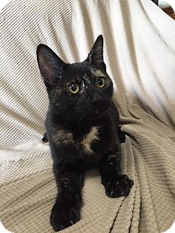 Domestic Shorthair Kitten for adoption in Maryville, Missouri - Midnight