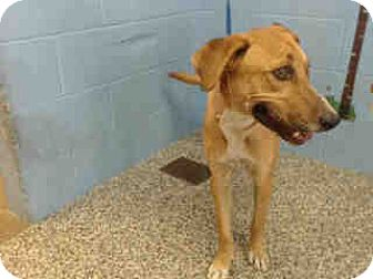 Labrador Retriever Mix Dog for adoption in San Bernardino, California - URGENT on 10/5 SAN BERNARDINO