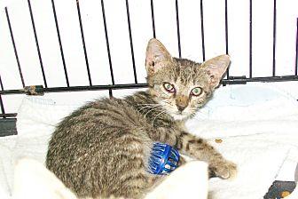 Domestic Mediumhair Cat for adoption in Mexia, Texas - Chevy