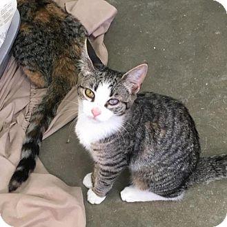 Domestic Shorthair Cat for adoption in Manteo, North Carolina - Dee Dee