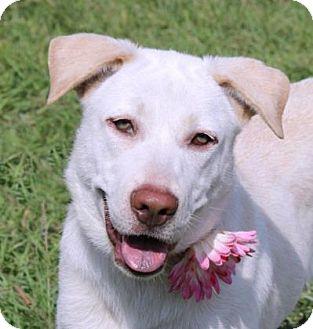 Labrador Retriever Mix Puppy for adoption in Loxahatchee, Florida - Snowball