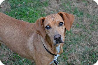 Redbone Coonhound/German Pinscher Mix Dog for adoption in Farmington, Michigan - Ella