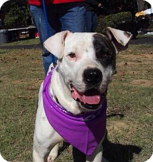 American Bulldog/Terrier (Unknown Type, Medium) Mix Dog for adoption in Olive Branch, Mississippi - Petey Ready 4 a Home!