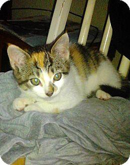 Domestic Shorthair Kitten for adoption in Horsham, Pennsylvania - Daisy