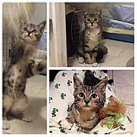 Domestic Shorthair Kitten for adoption in Miami, Florida - Little Boo
