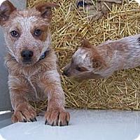 Adopt A Pet :: Zip - Chewelah, WA