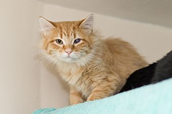 Domestic Longhair Cat for adoption in Chicago, Illinois - Leo
