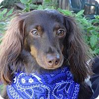 Adopt A Pet :: BREWSTER - Portland, OR