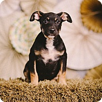 Adopt A Pet :: Meyer - Portland, OR