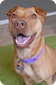 Shar Pei Mix Dog for adoption in Independence, Missouri - Leah