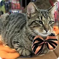 Adopt A Pet :: Jacquard - Lyons, IL