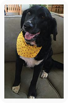 Springer Spaniel/Flat-Coated Retriever Mix Dog for adoption in Sherman, Connecticut - Malcolm