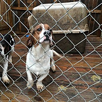 Beagle/Basset Hound Mix Dog for adoption in Triangle, Virginia - Wubsey