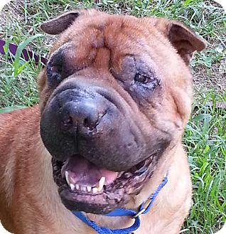 Shar Pei Dog for adoption in Barnegat Light, New Jersey - Cooper